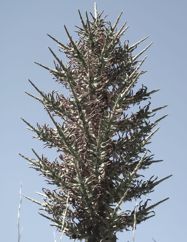 Puya chilensis 3