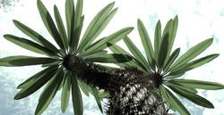 Pachypodium lamerii 48