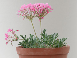 Pelargonium incrassatum 14