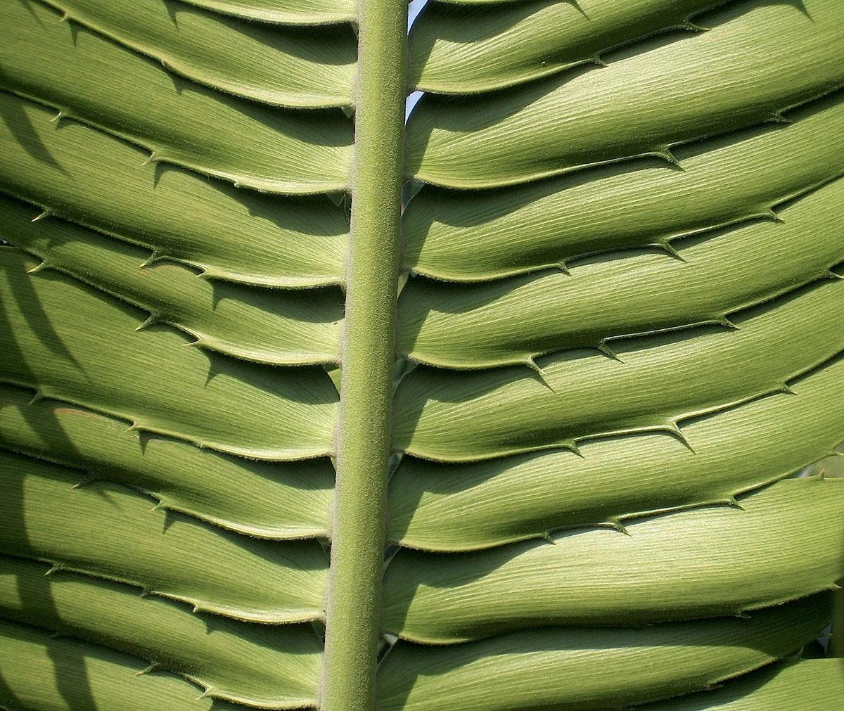 Encephalartos transvenosus 80