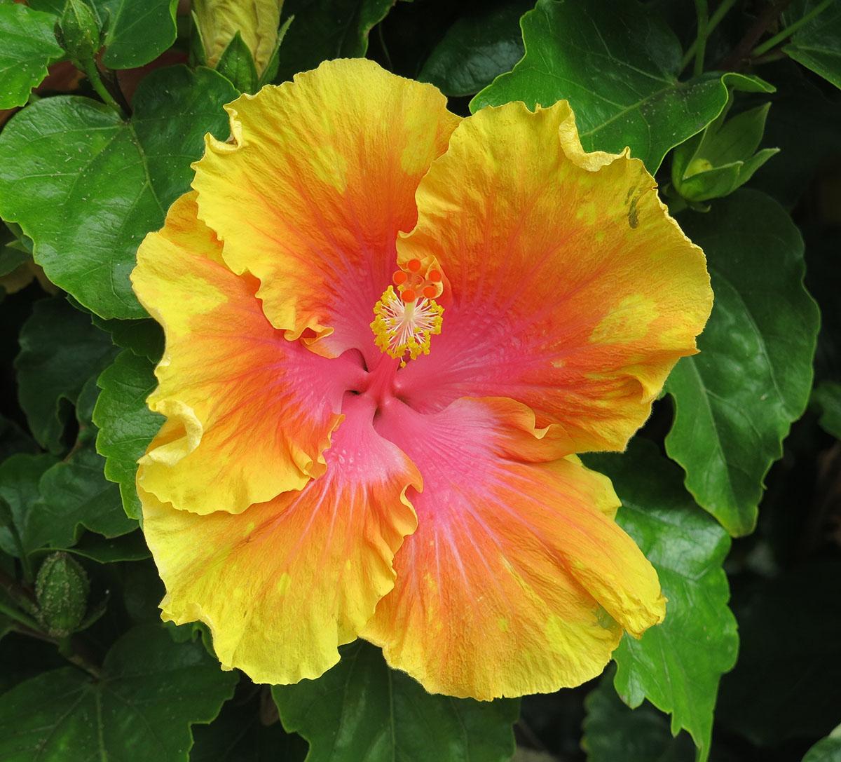 Hibiscus rosa-sinensis 138