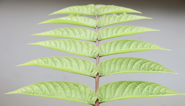 Ailanthus-altissima-21-