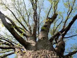 Quercus alba 6