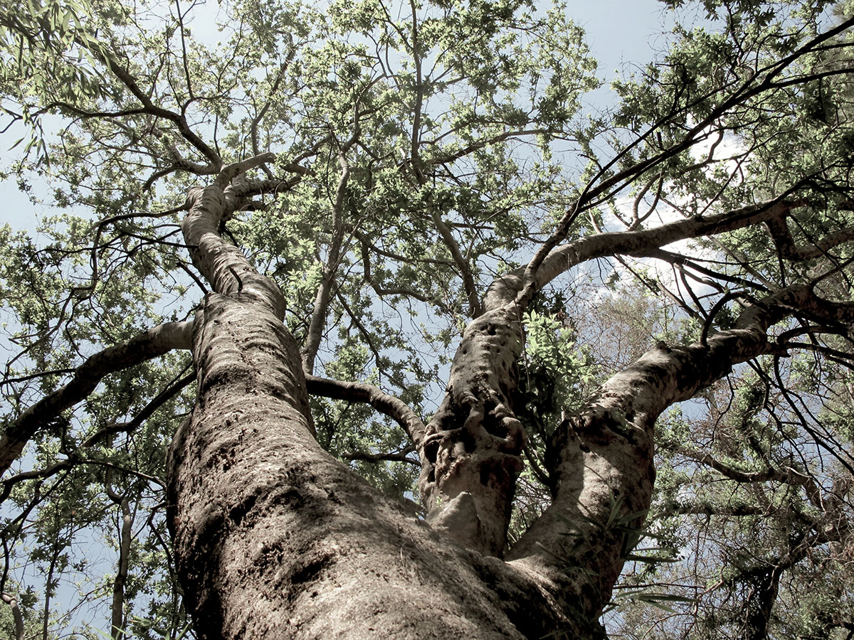 Combretum erythrophyllum 134