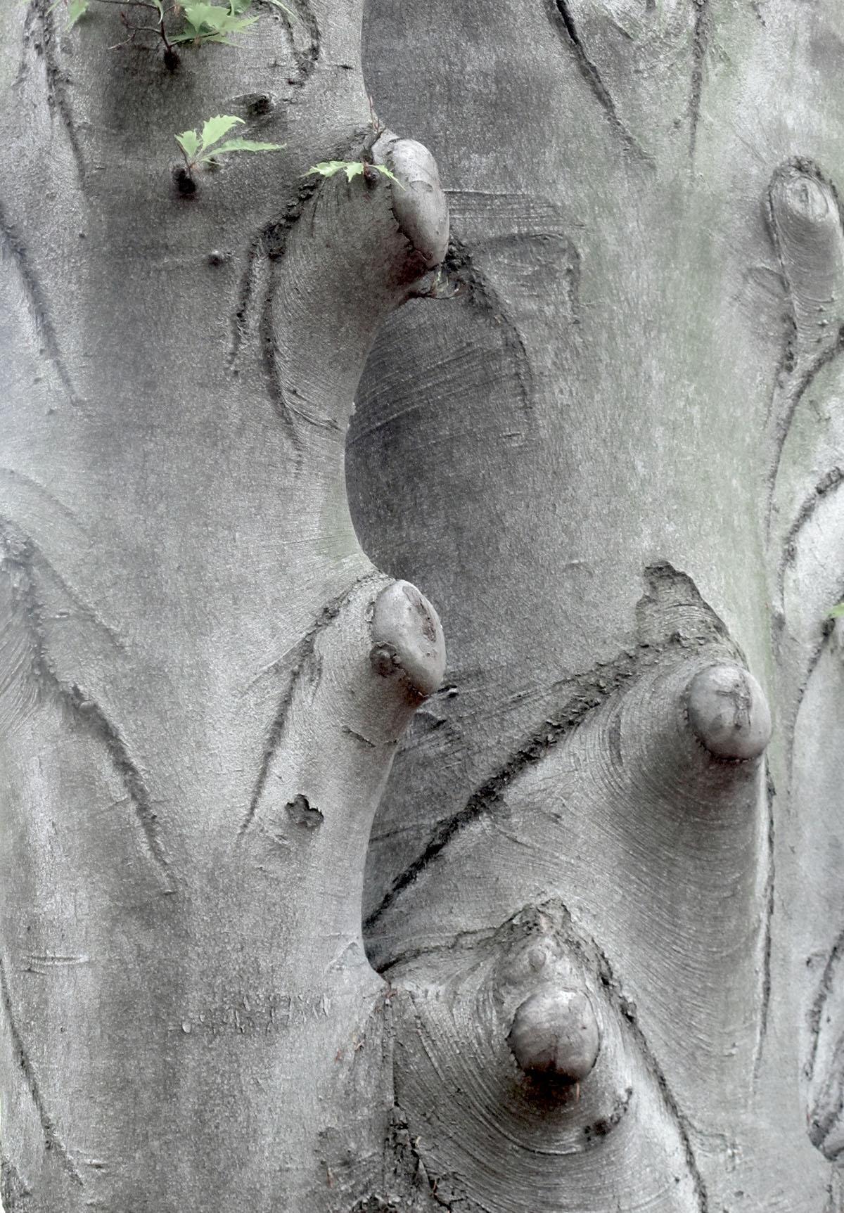 Fagus sylvatica Laciniata 17