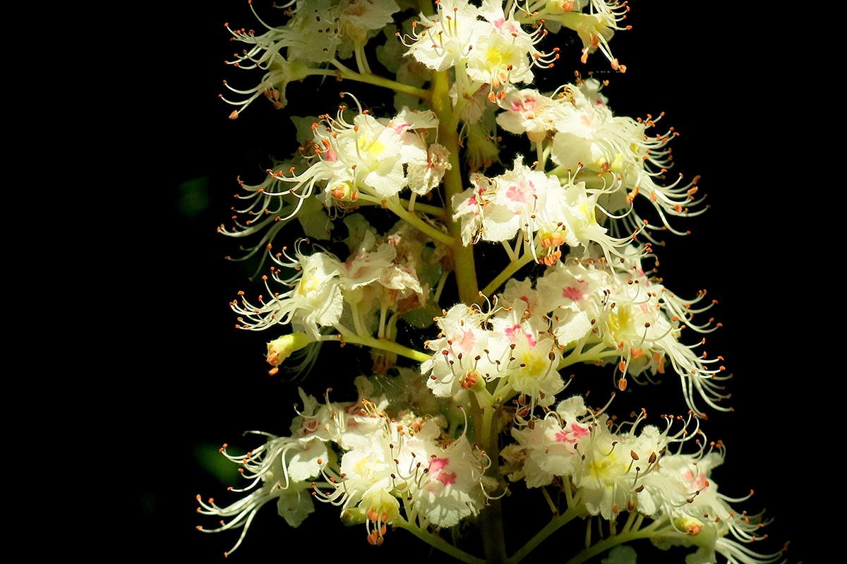Aesculus-hippocastanum-27-
