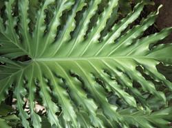 Philodendron selloum 16