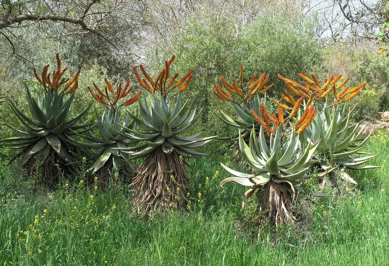 Aloe-ferox-81-