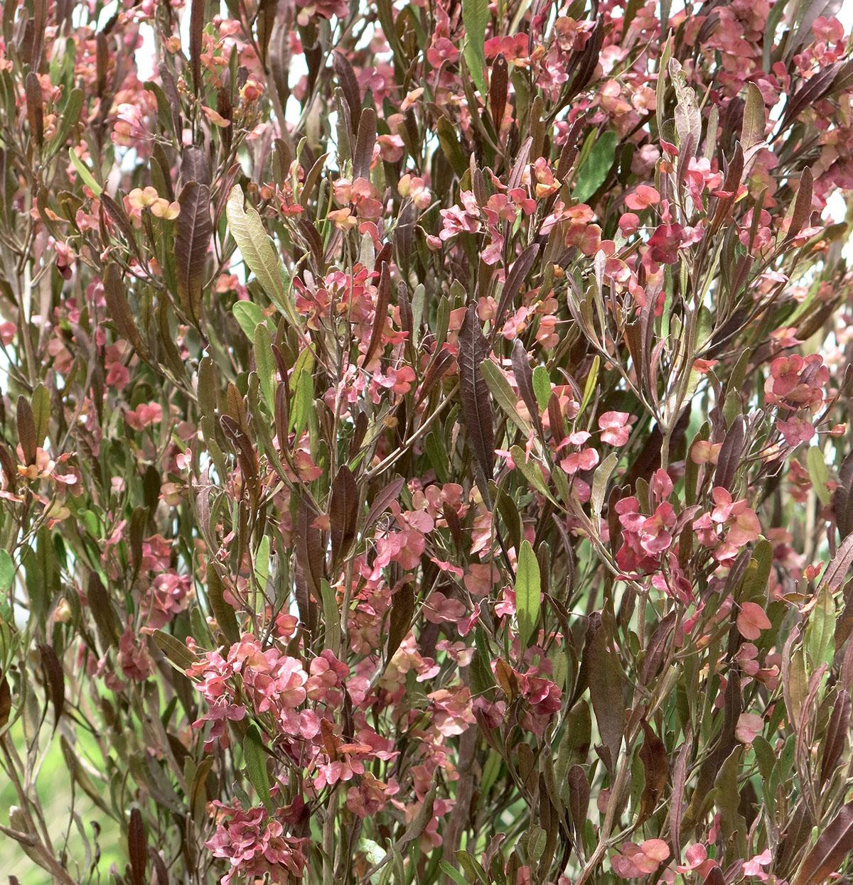 Dodonea viscosa 76