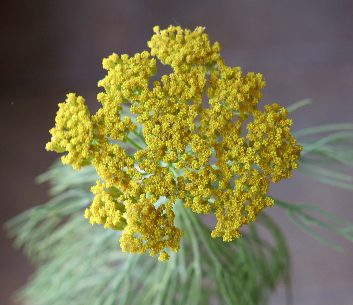 Hymenolepis parviflora 31