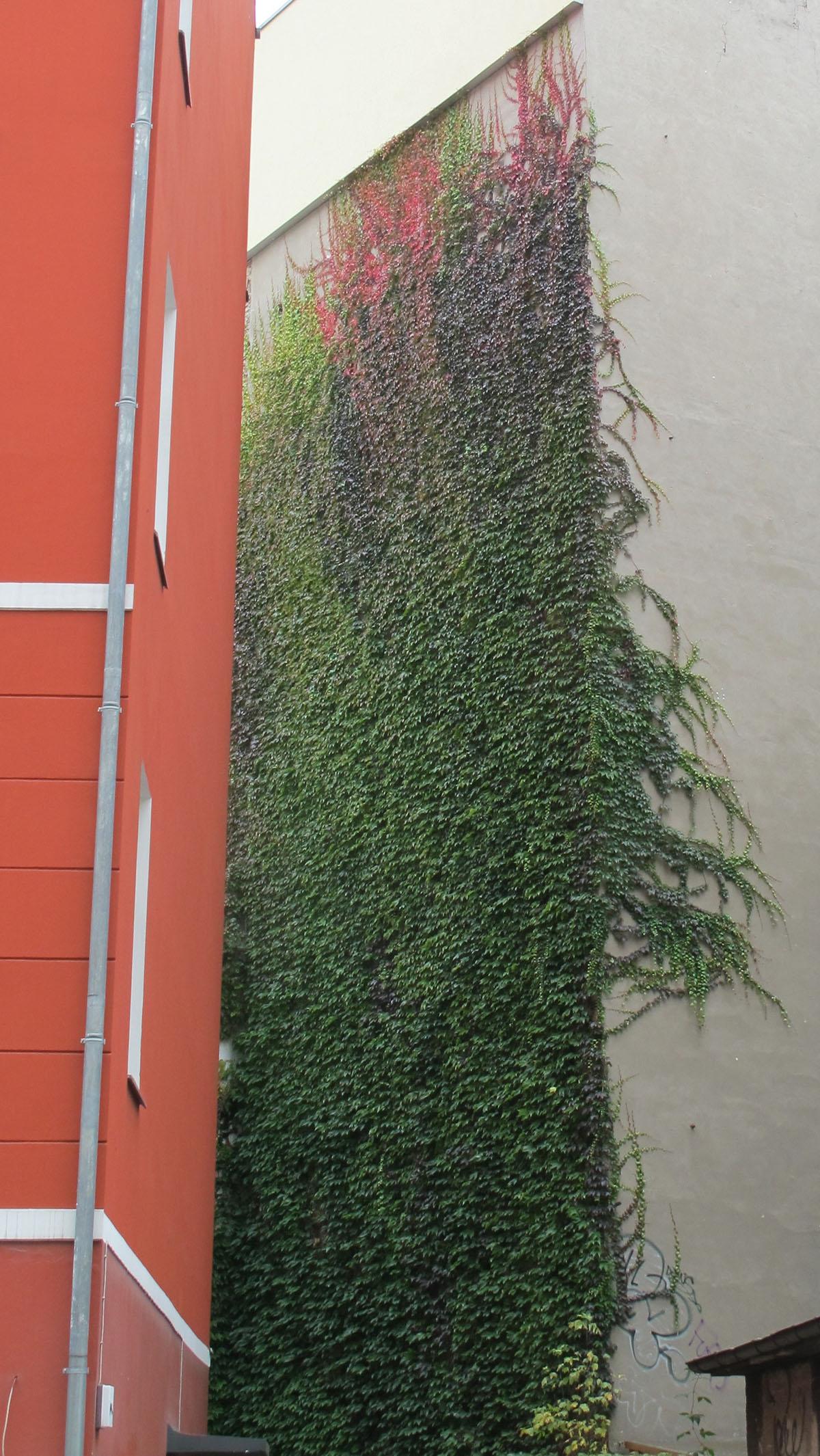 Parthenocissus tricuspidata 25