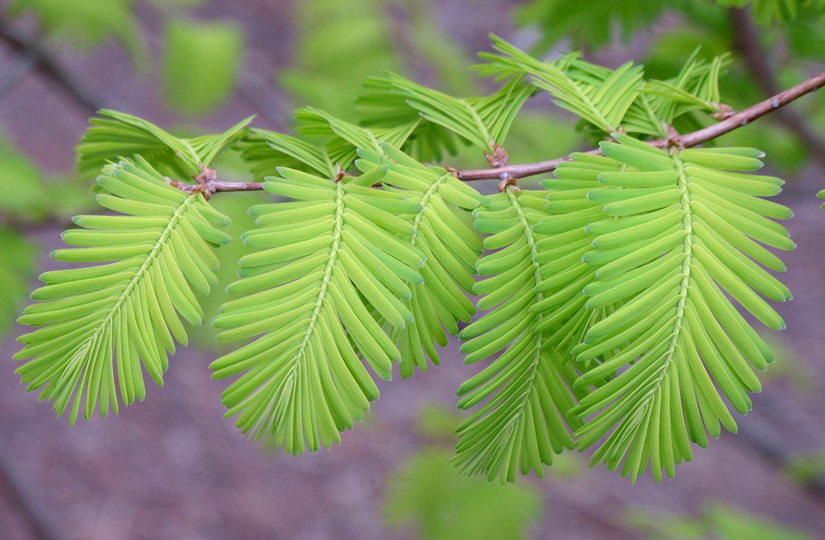 Metasequoia glyptostroboides Ogon 2