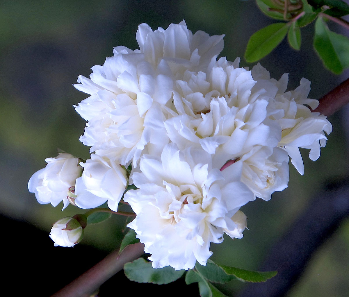Rosa banksiae normalis 9