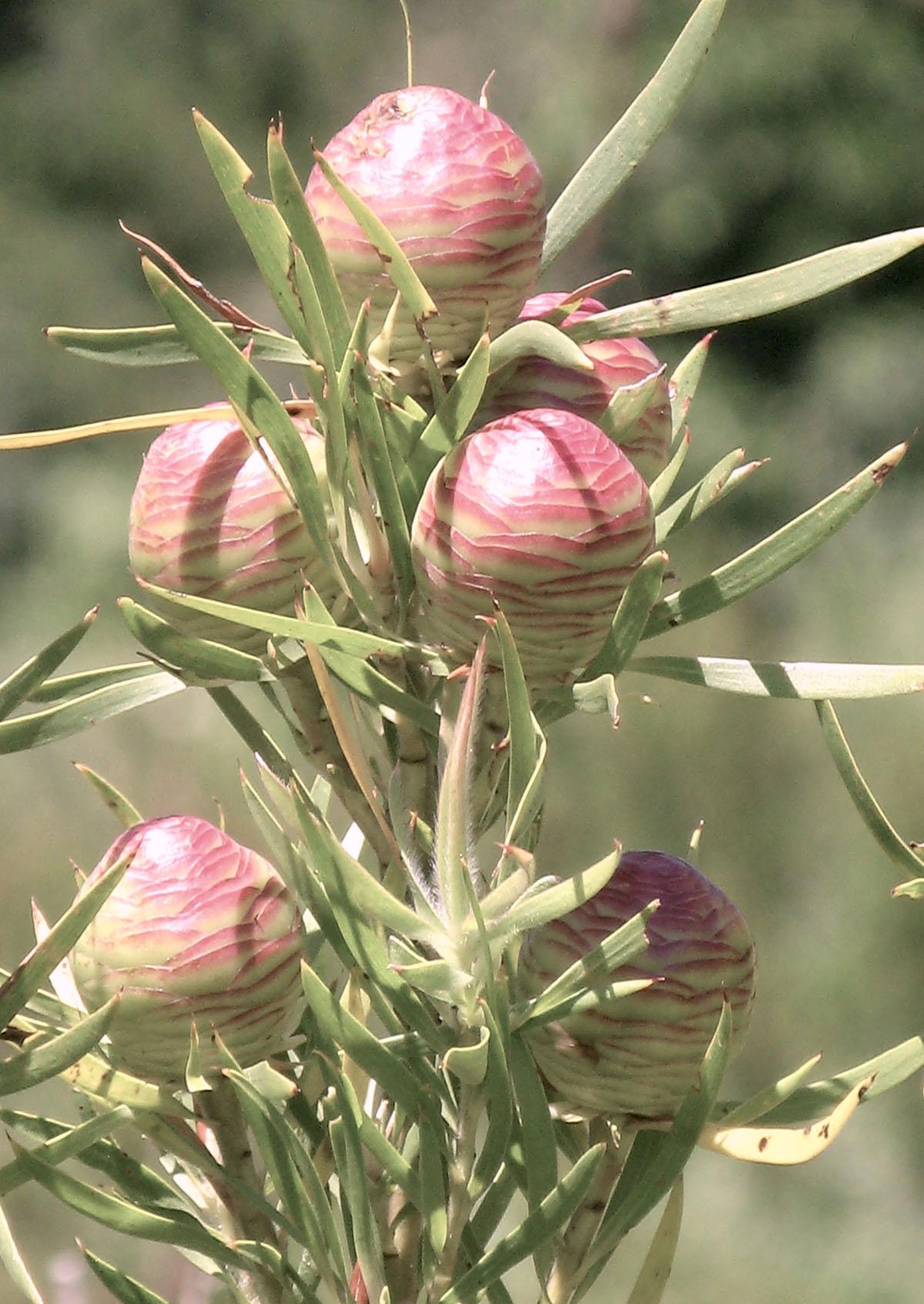 Leucadendron salicifolium 2