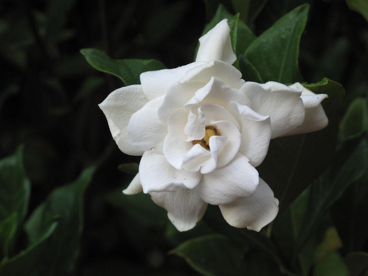 Gardenia jasminoides 11