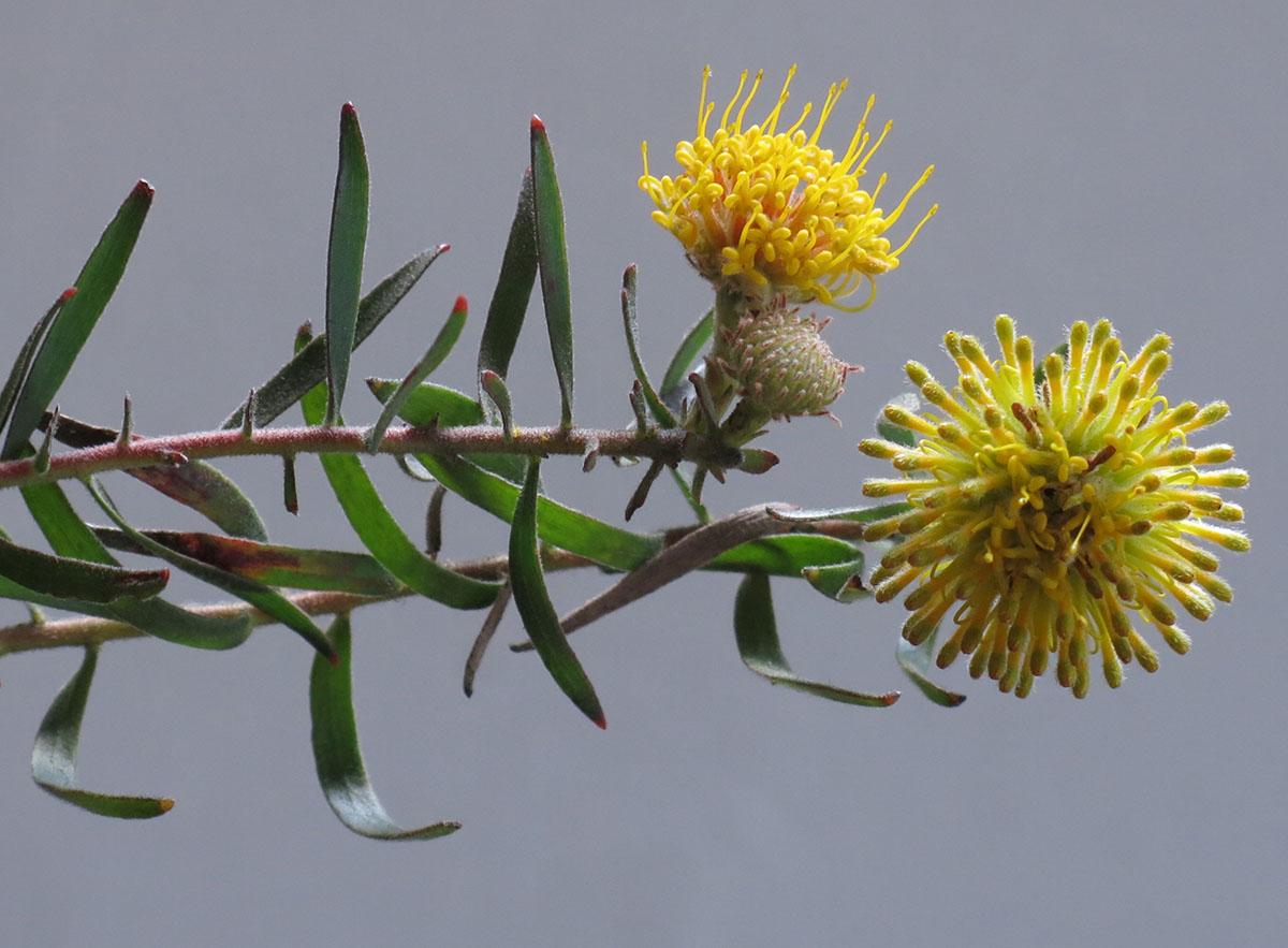 Leucospermum prostratum 27
