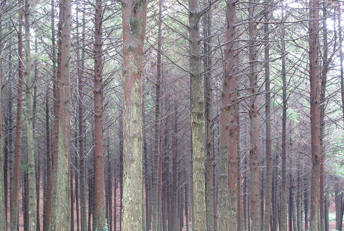 Pinus patula 10