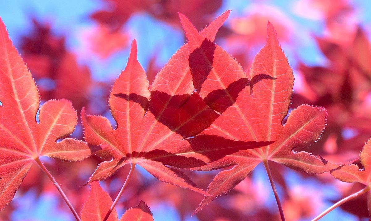 Acer-palmatum-Red-18-