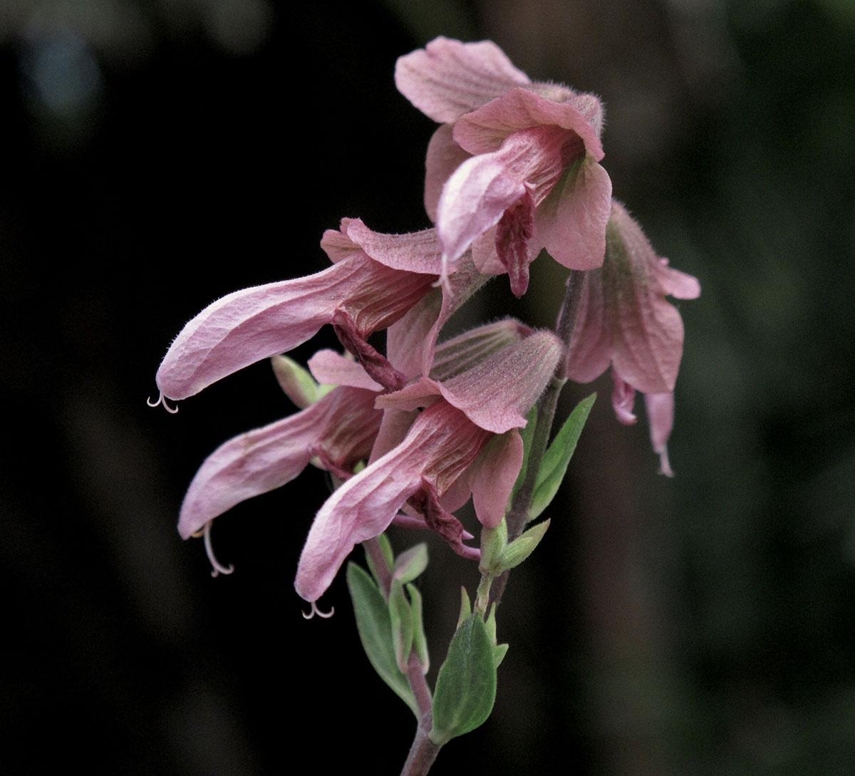 Salvia thermaruma 1