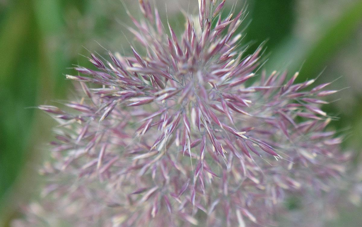Stipa_calamagrostis_'Allgäu'_6_