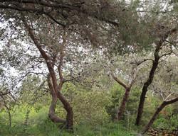 Pinus halepensis 19