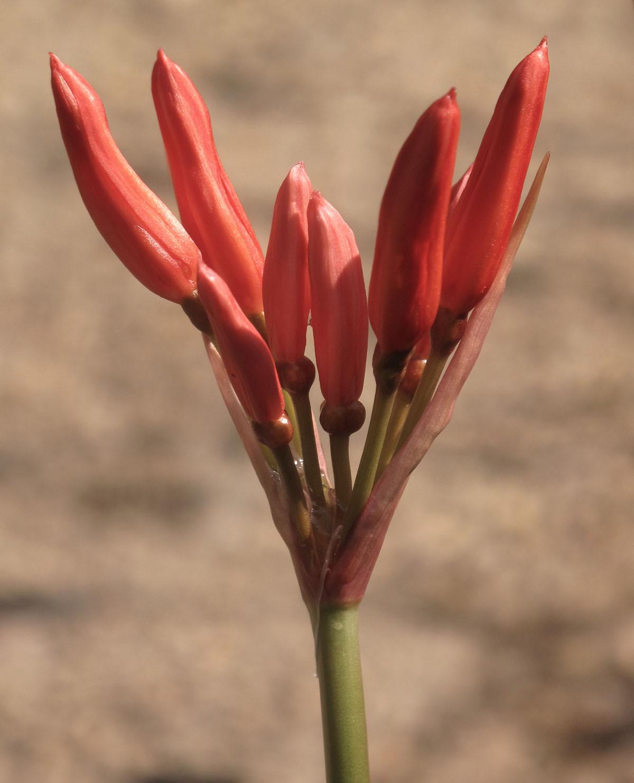 Nerine sarniensis 16