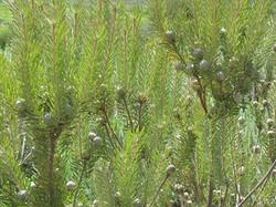 Leucadendron cinereum 3