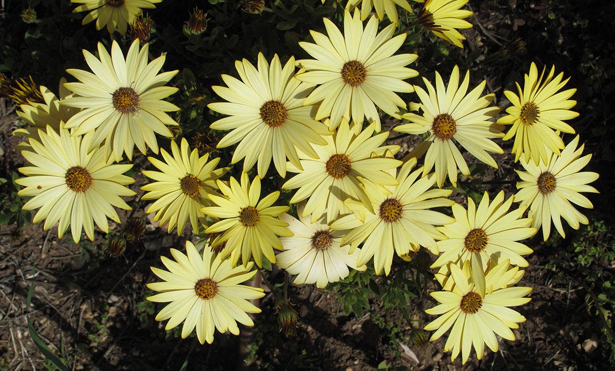Osteospermum ecklonis 5