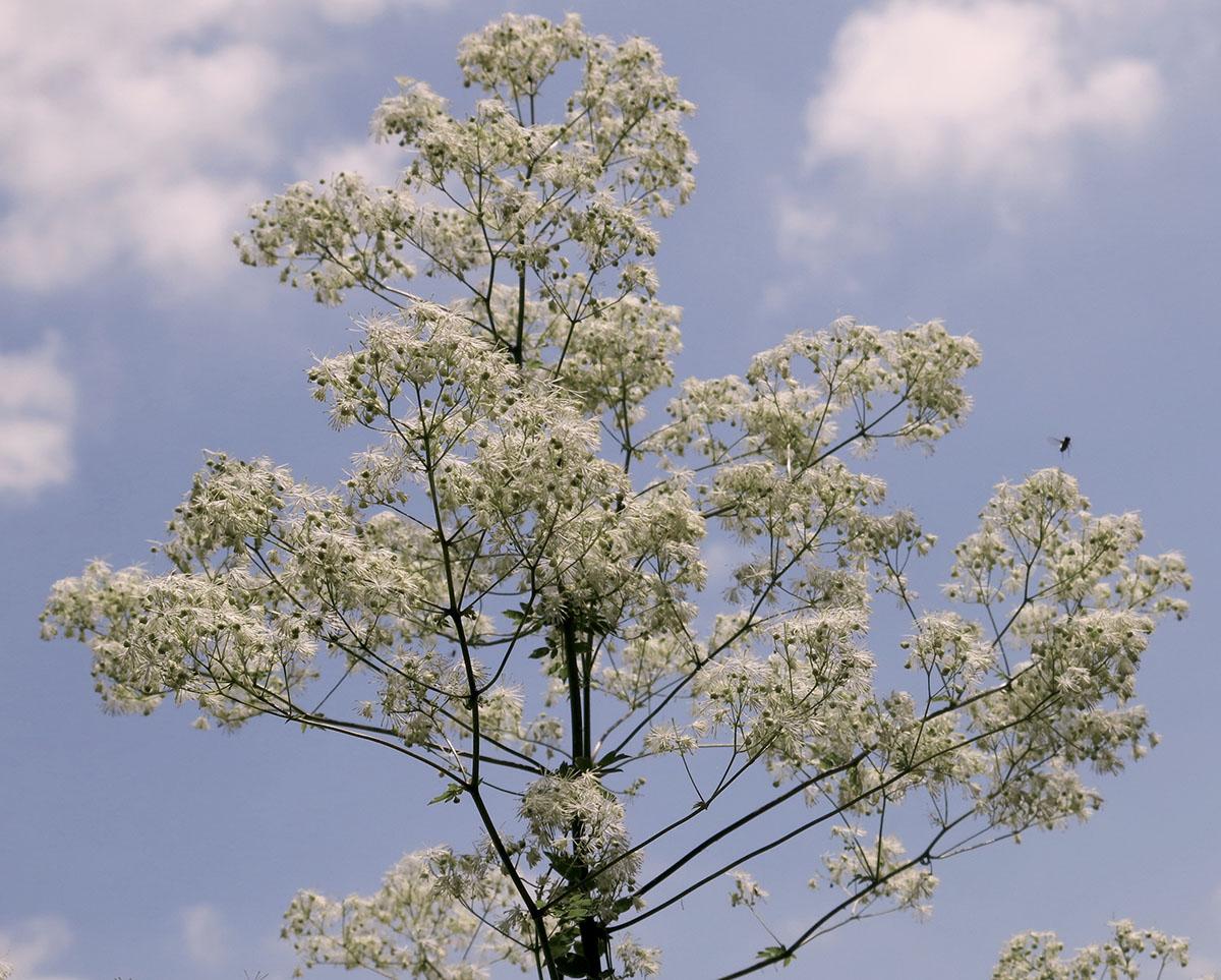 Thalictrum pubescens 11