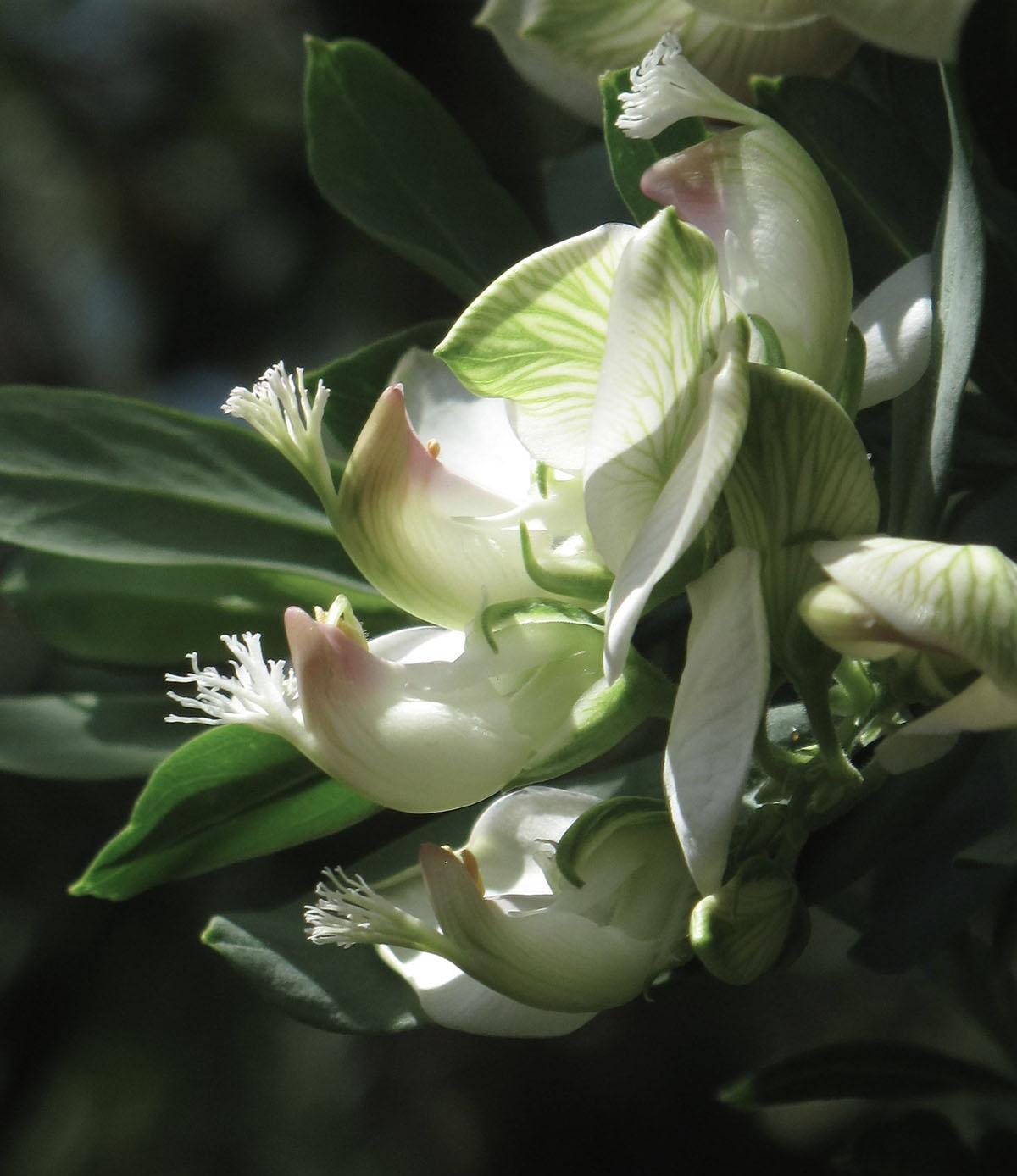Polygala myrtifolia 37