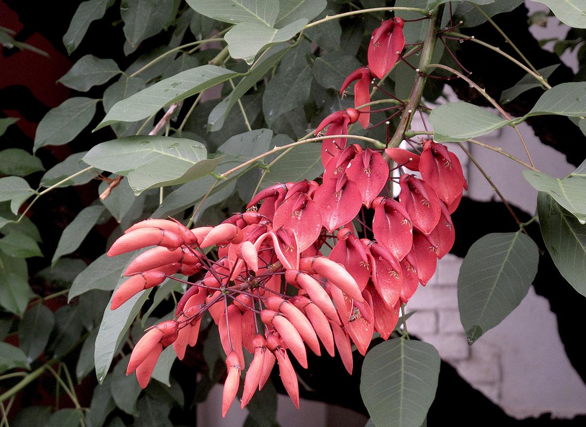 Erythrina crista-galli 10