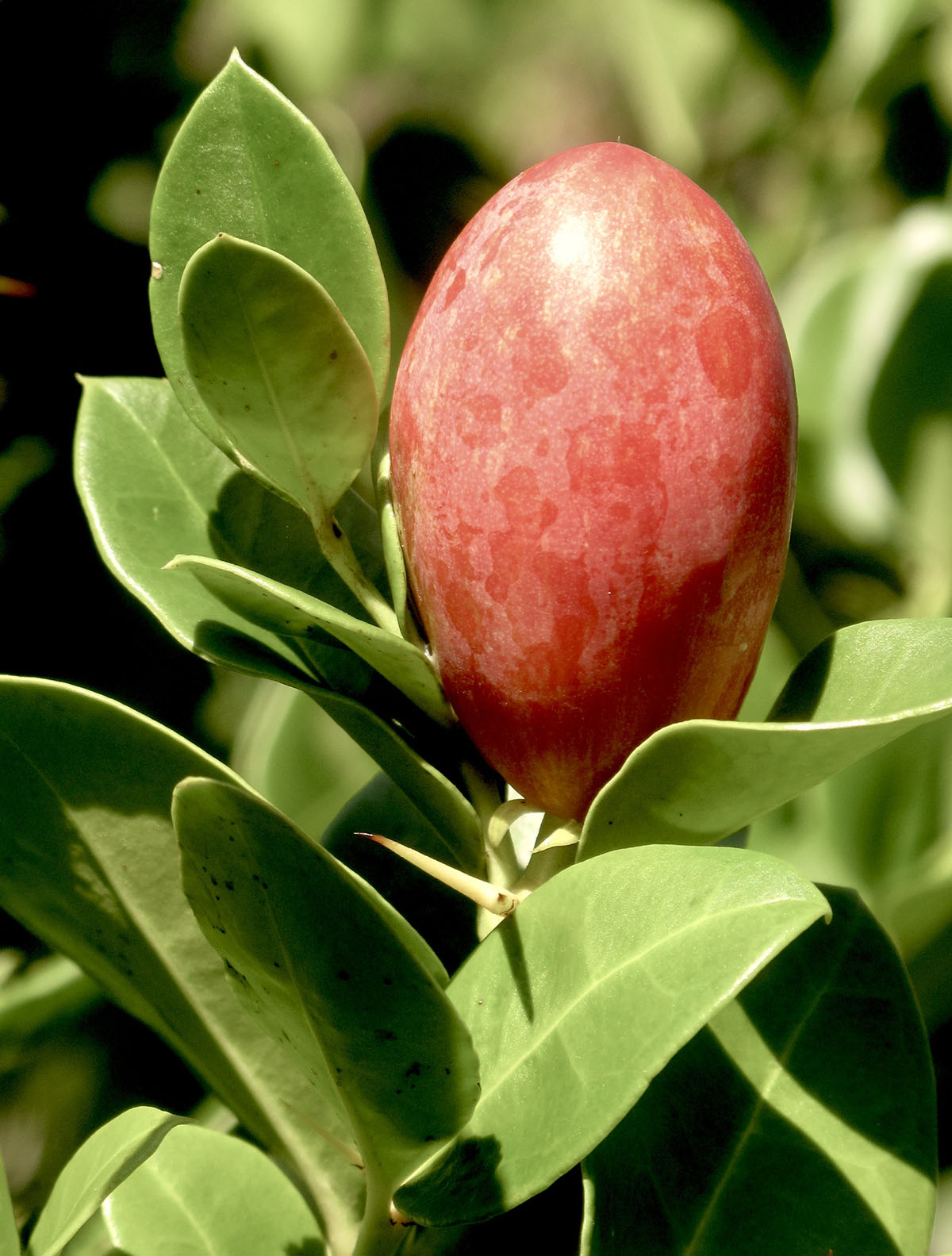 Carissa macrocarpa 31
