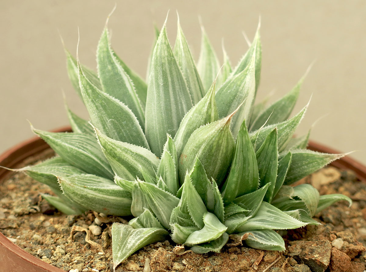 Haworthia turgida Grey Ghost 1