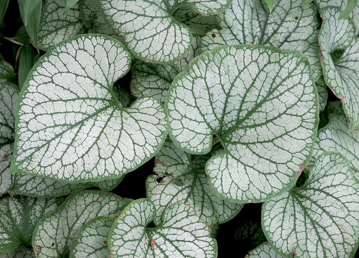 Brunnera macrophylla Jack Frost 6