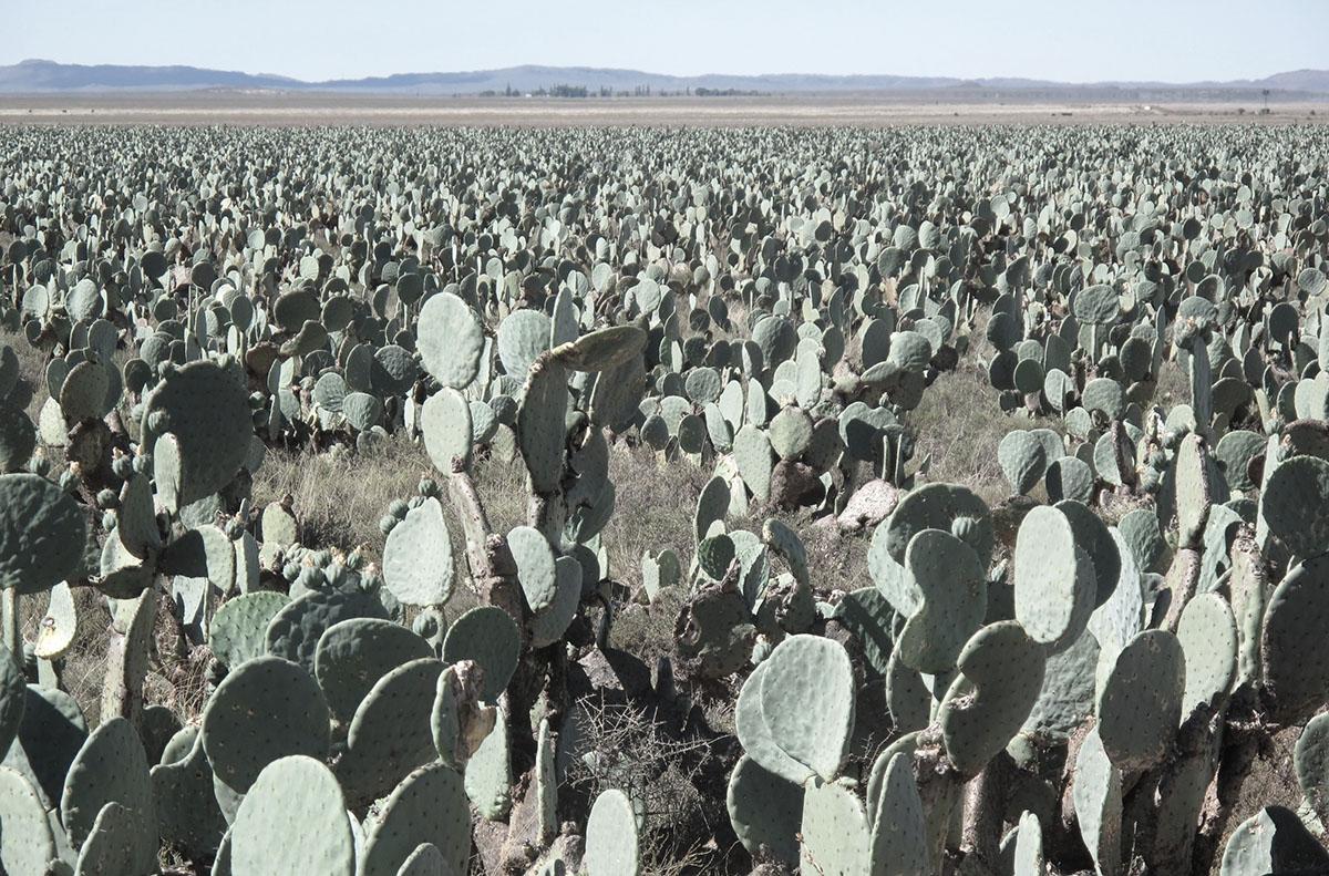 Opuntia ficus indica 12