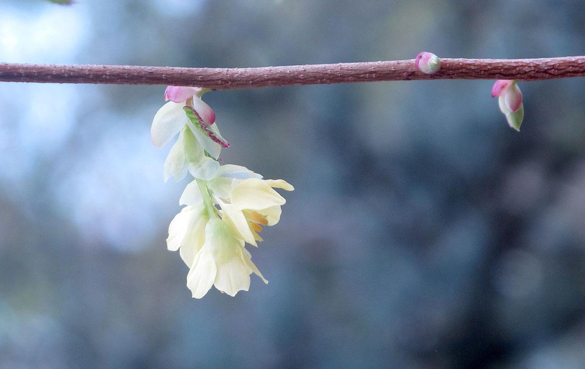 Corylopsis pauciflora 7