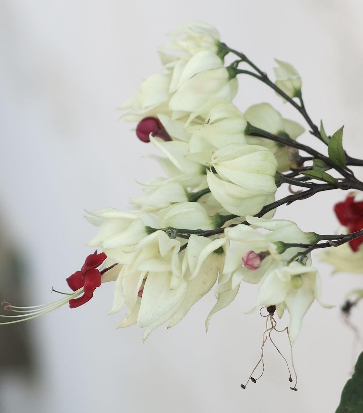 Clerodendrum thomsoniae 26