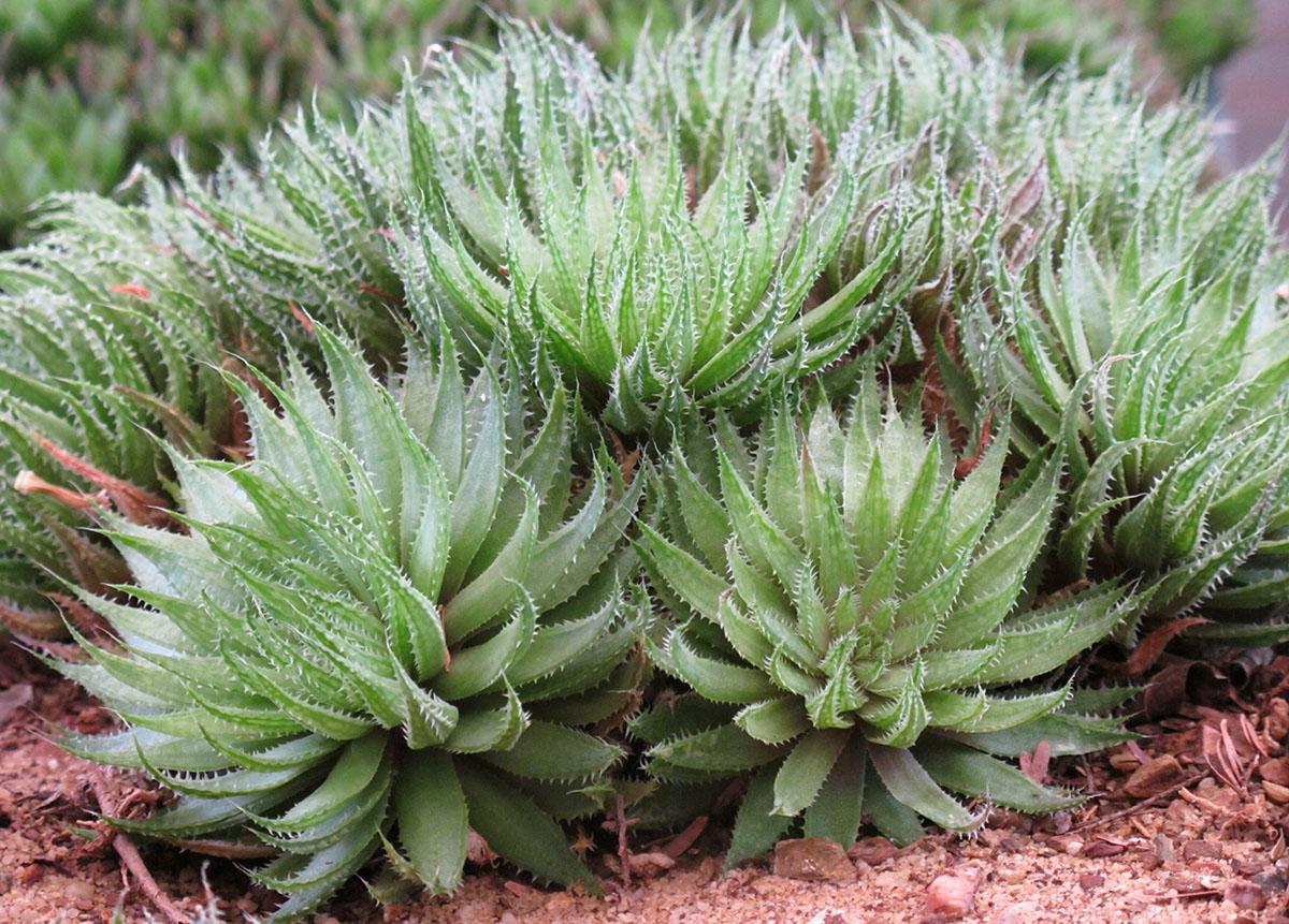 Haworthea herbacea herbacea 4