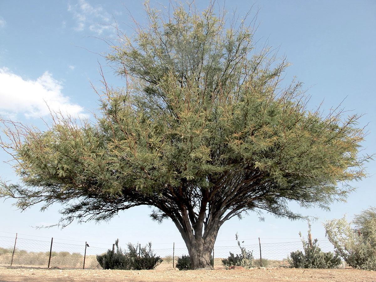 Prosopis glandulosa 46