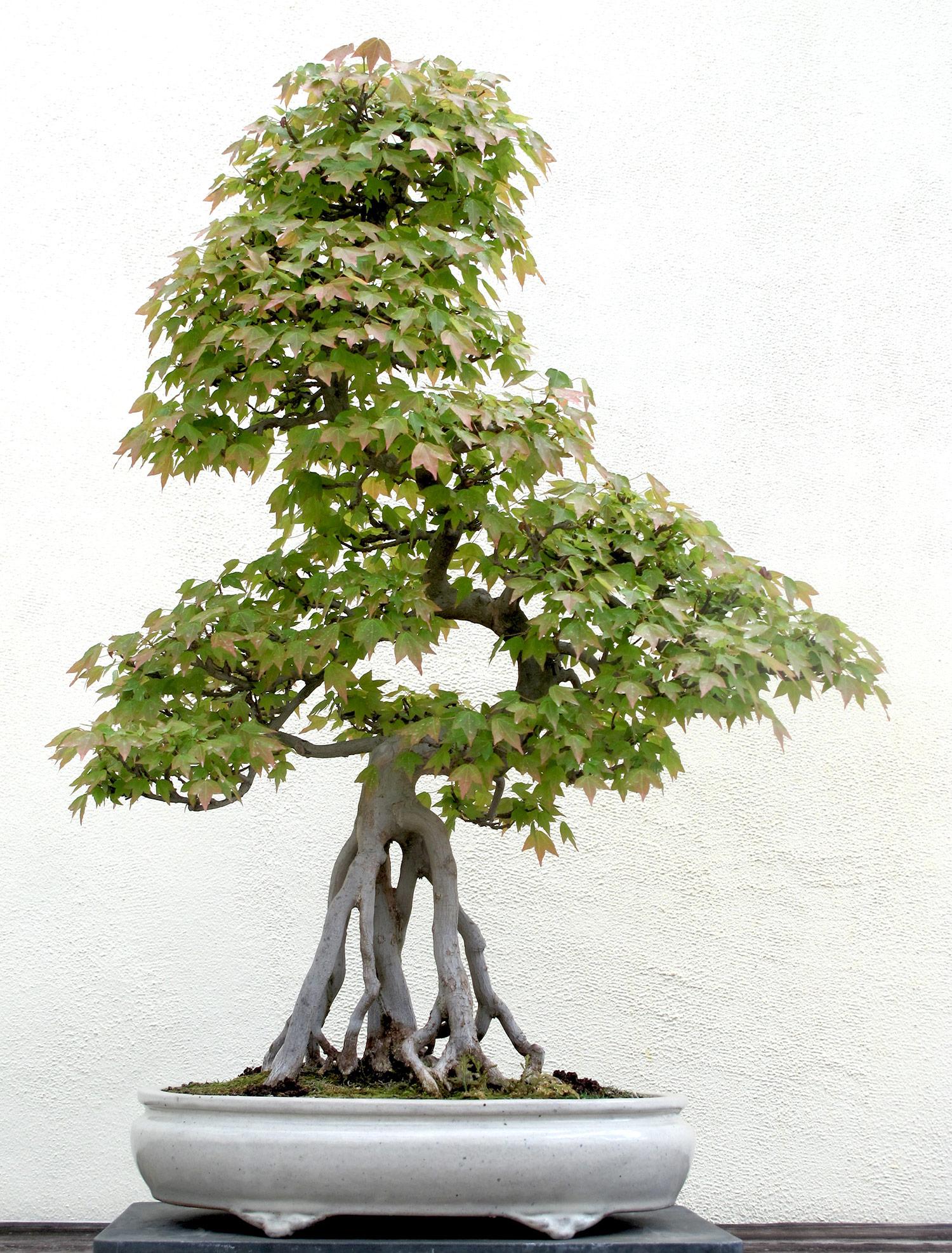 Acer-buergerianum-113-