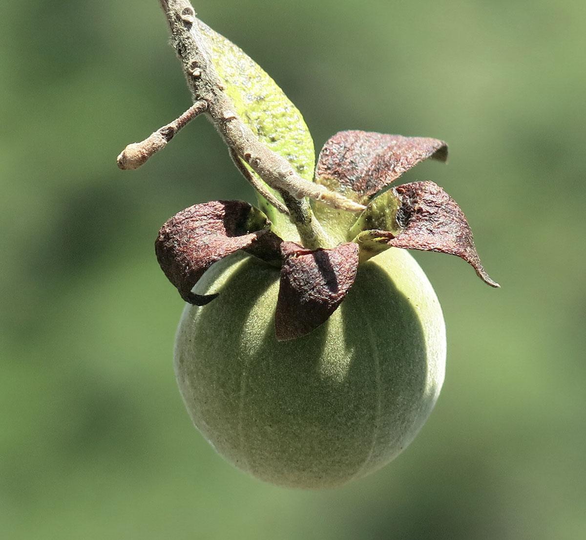 Diospyros dichrophylla 28