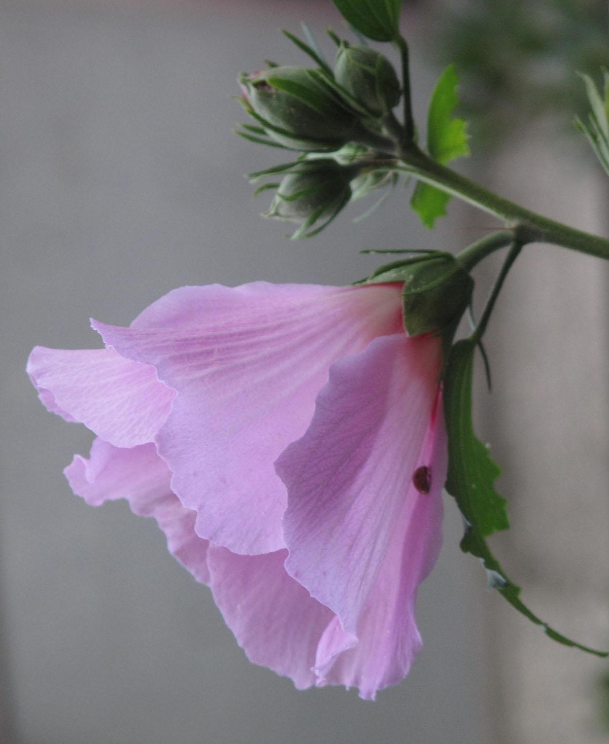 Hibiscus syriacus 21