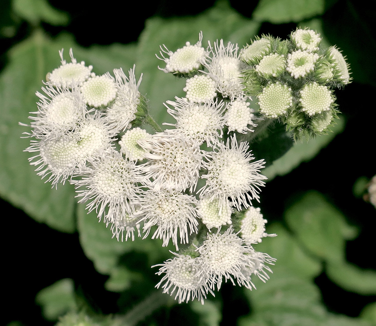 Ageratum-houstonianum-High-Tide-White-4-