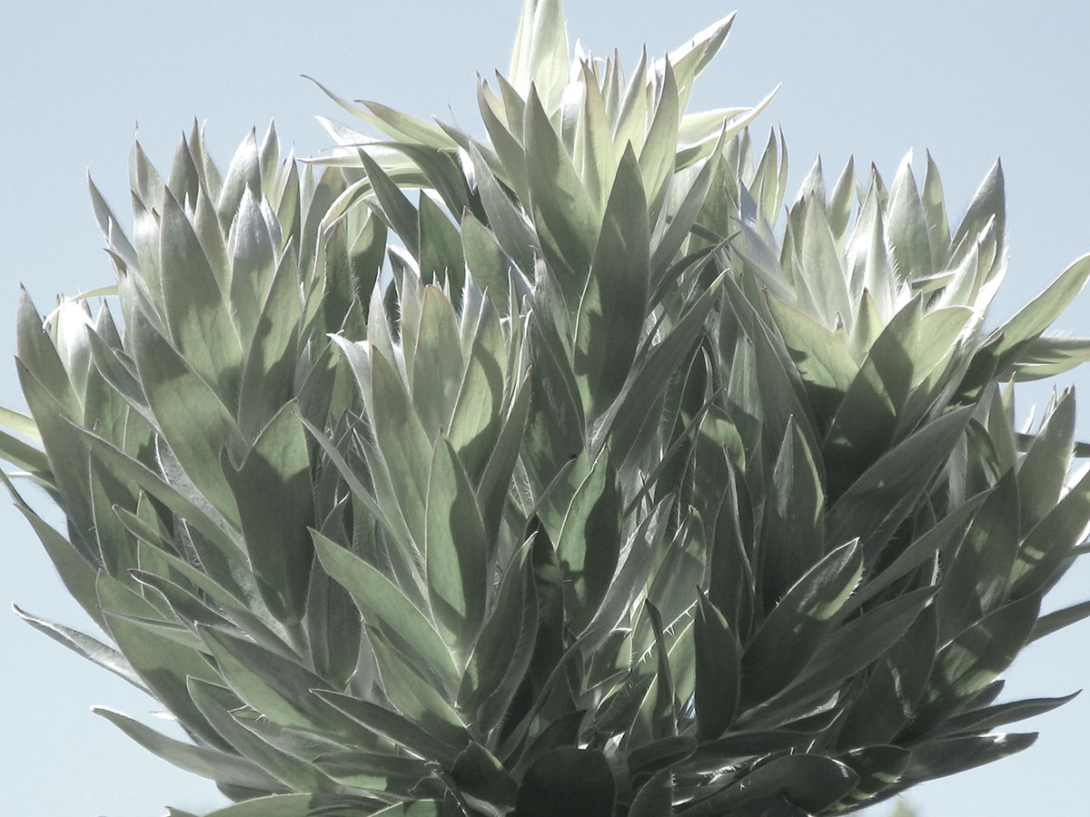Leucadendron argenteum 50