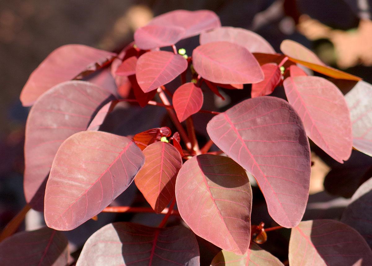 Euphorbia cotinifolia 4