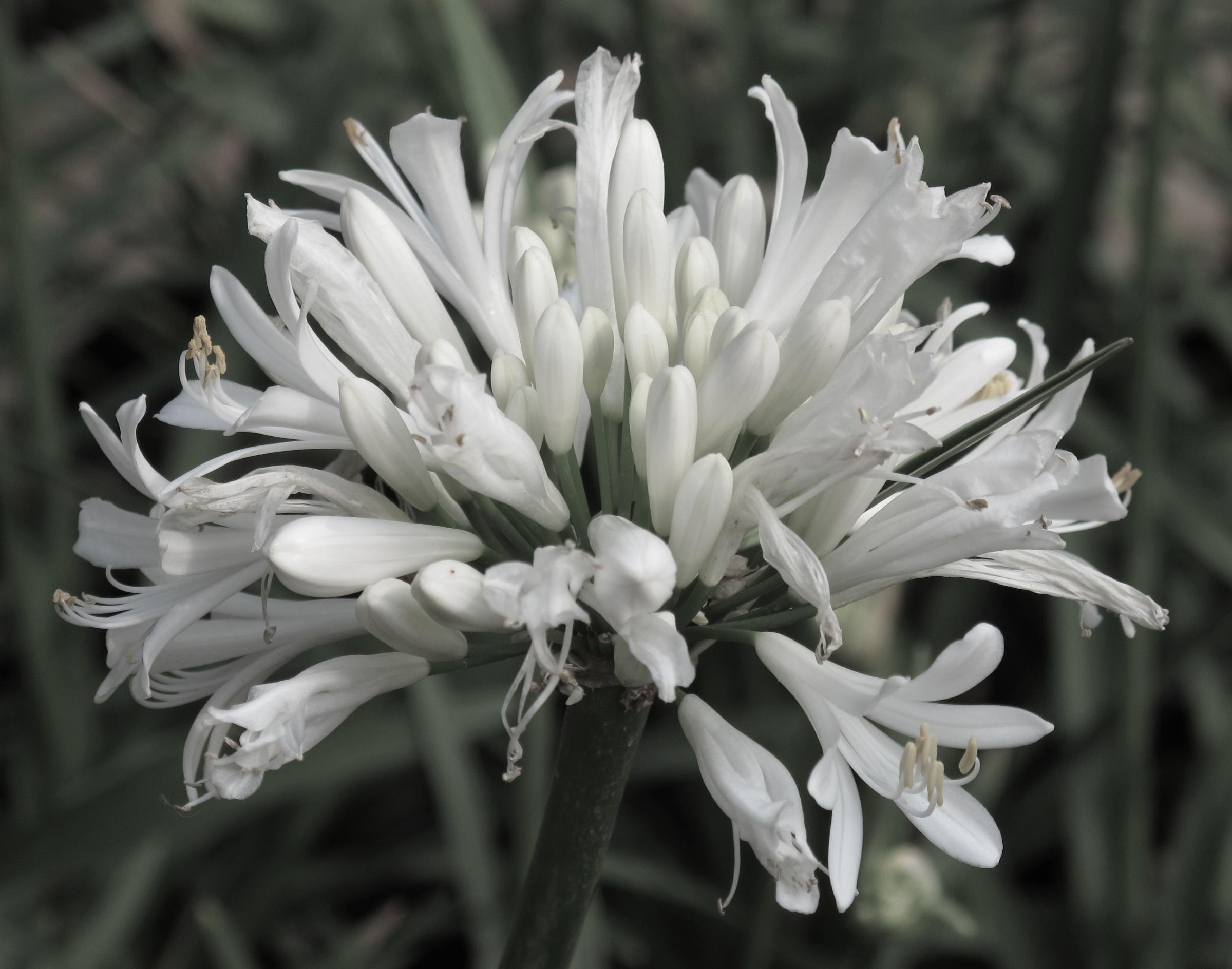 Agapanthus africanus 54