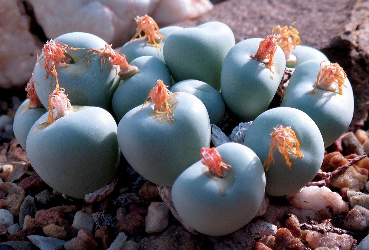 Conophytum pageae 2
