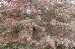 Quercus palustris 88