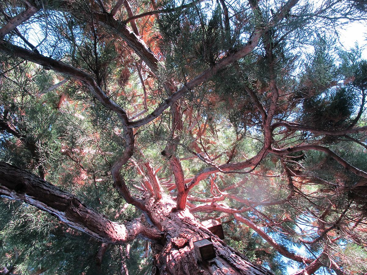 Sequoiadendron giganteum 1