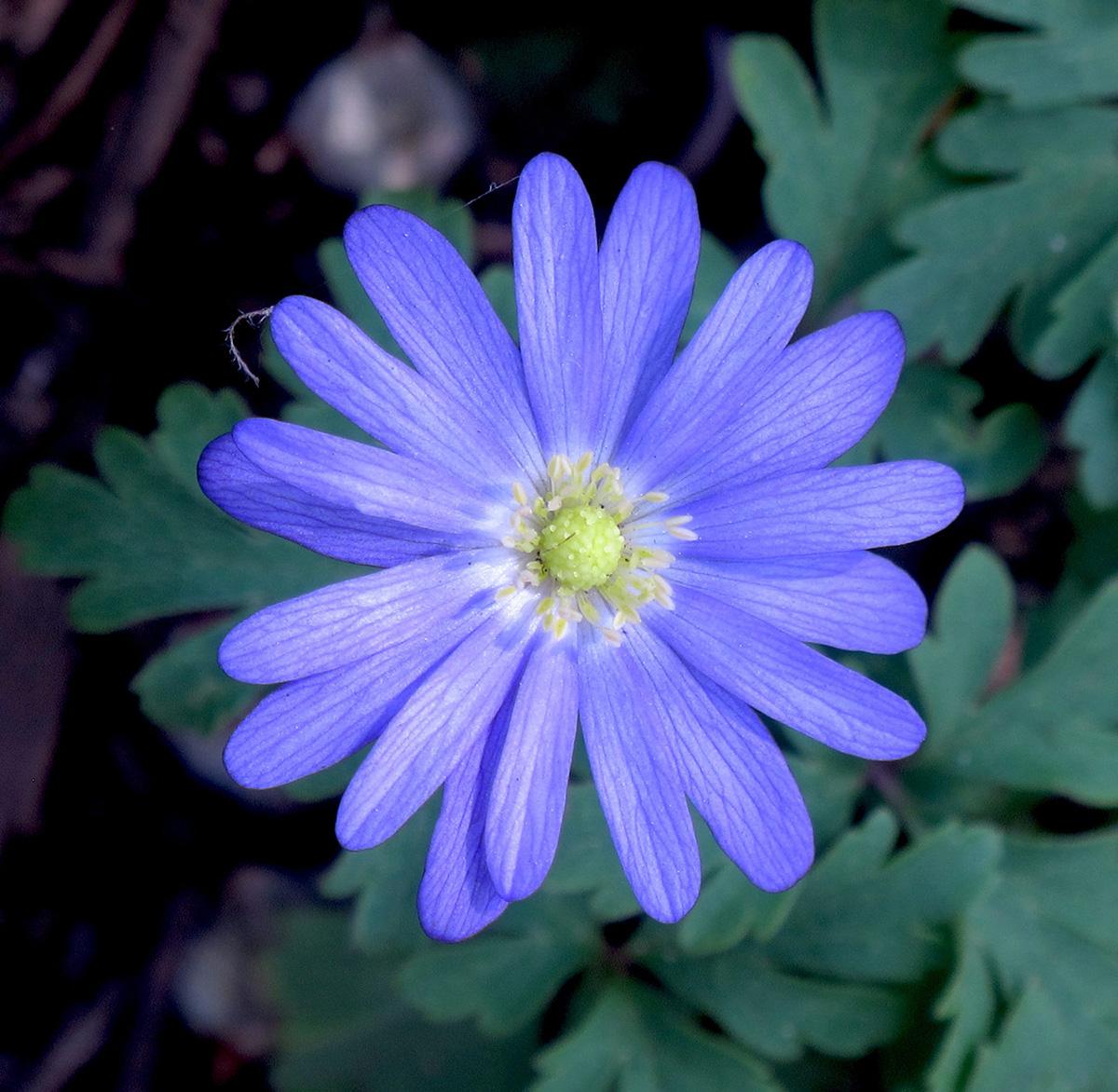 Anemone-blanda-Blue-Shades-2-